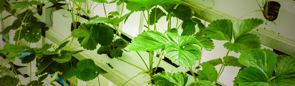 cultiver des fraises en hydroponie